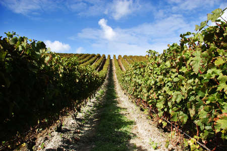 Grape vines at a vineyard on a fine day Stock Photo