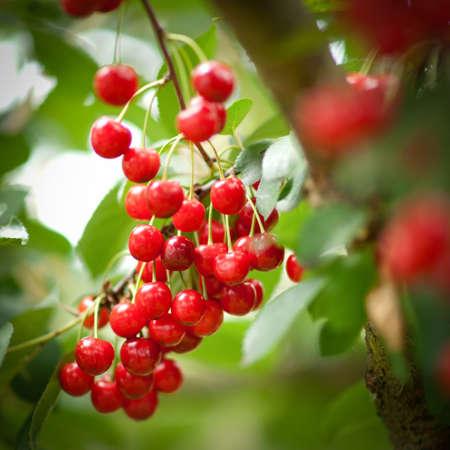 arbol de cerezo: Cerezas