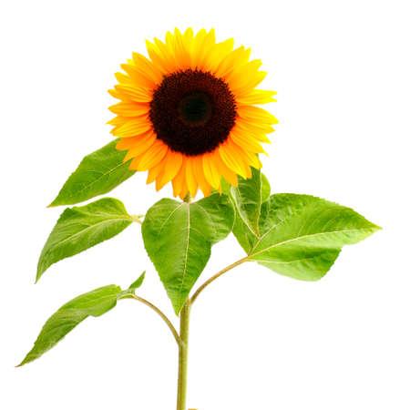 sunflower isolated: Sunflower