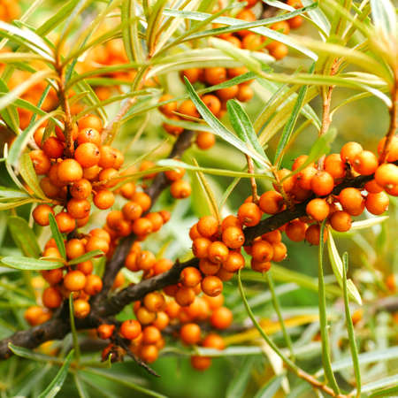 sallow: Sea buckthorn Stock Photo