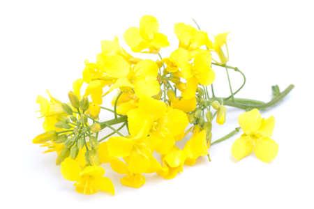 oil rape: Colza blossom on white ground Stock Photo