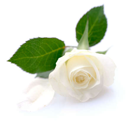 momentariness: White rose