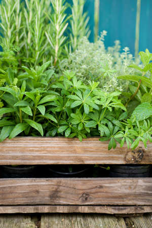 sweet woodruff: Herbs in a wooden box