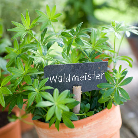 Waldmeister Stock Photo - 13983908