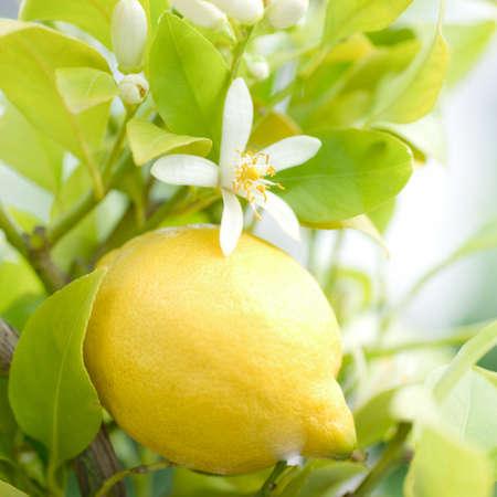 lemon tree: Limonero