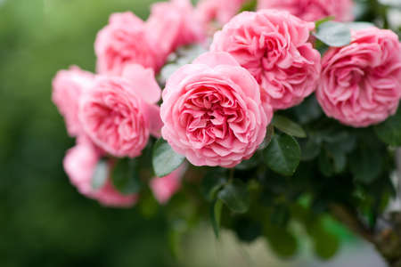 Pink roses Stock Photo - 13989180