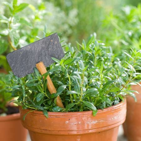 sweet woodruff: Fresh herbs
