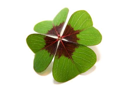 four leafed clover: Lucky clover