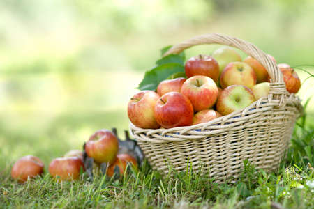 apples basket: Harvest time, apples