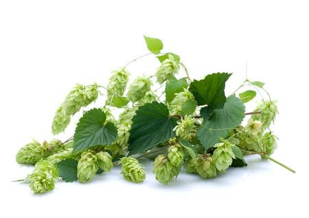 brewage: Fresh hops on white ground
