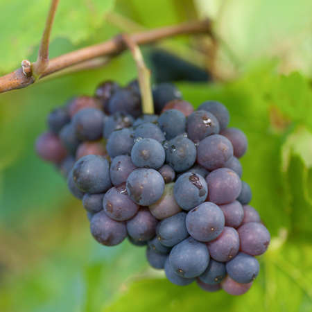 Fresh red grapes photo