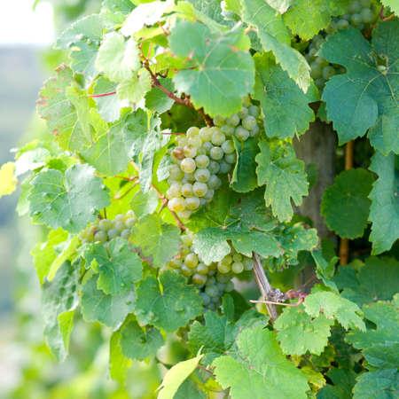 Fresh green grapes photo