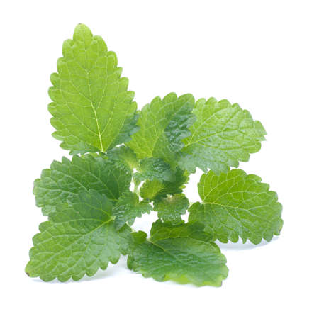 lemon balm: Fresh lemon balm Stock Photo