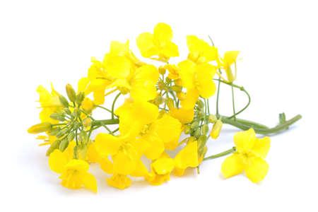 colza: Flor de colza Fresh