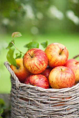 arbol de manzanas: Manzanas frescas en una cesta Foto de archivo