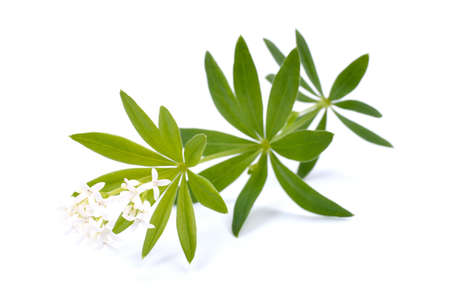 woodruff: Sweet woodruff Stock Photo