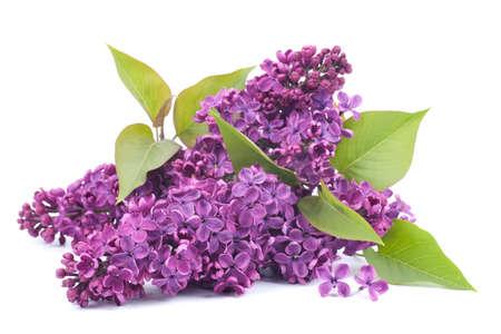 therapie: Common lilac