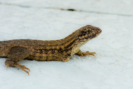 Injured lizard