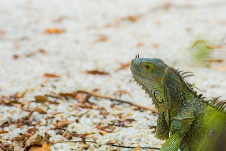 Iguana on stone driveway Stock Photo