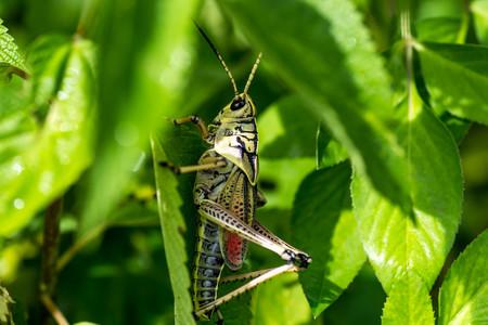 Grasshopper in leaves Stock Photo