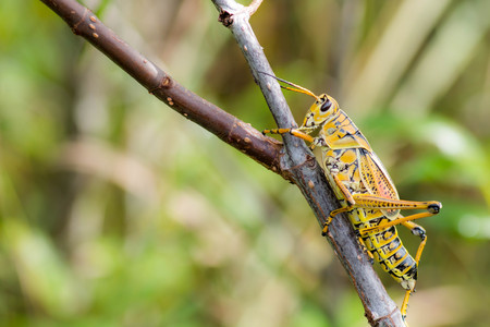 Grasshopper on a branch