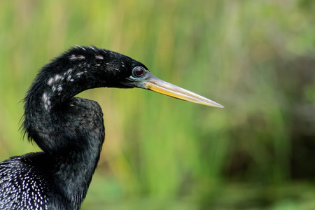 Anhinga closeup Stock Photo