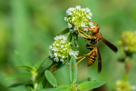 Wasp on a flower wit further antennae