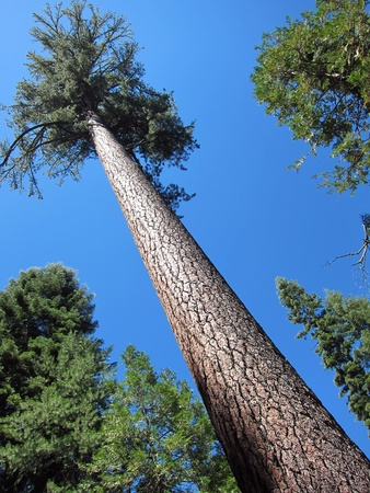 pine forest:  Big sugar pine tree in Yosemite Park Stock Photo