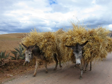 Donkeys in rural Peru, Sacred Valley near Cuzco