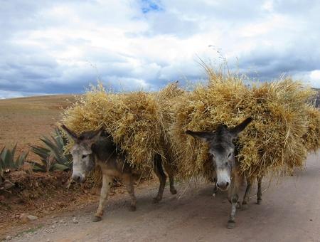 Donkeys in rural Peru, Sacred Valley near Cuzco photo