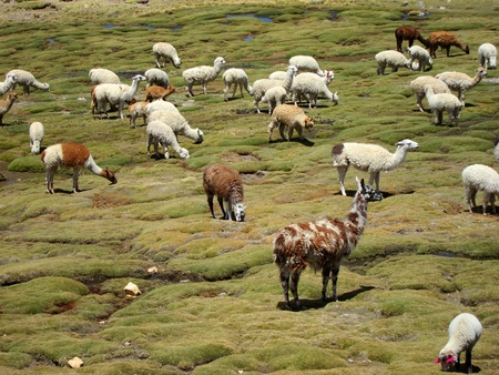 domestication: Llamas in the Andes near Arequipa and Colca Canyon, Peru
