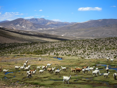 Llamas in the Andes near Arequipa and Colca Canyon, Peru photo