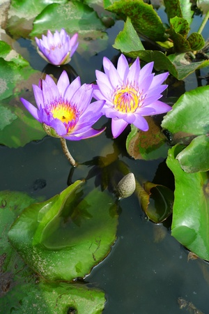 nympha: lotus flower in water Stock Photo
