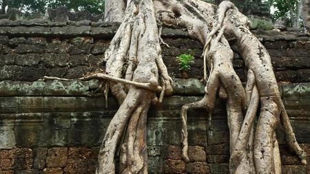 strangler: Ta Prohm Temple, Angkor, near Siem Reap, Cambodia Stock Photo