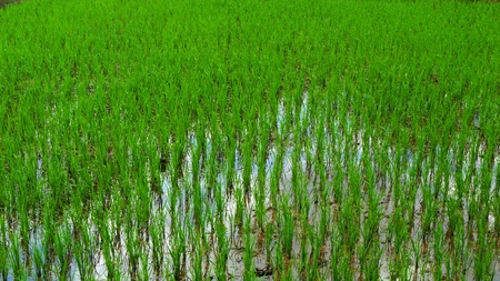 Rice fields in rural Cambodia, Asia photo