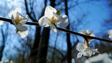 Japanese cherry blossoms in High Park, Toronto, Canada Stock Photo - 13093805