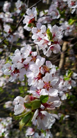 high park: Fiori di ciliegio giapponese in High Park, Toronto, Canada