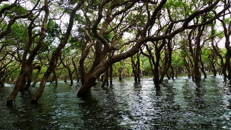 Flooded forest of mangrove trees at Kompeng Phhluk, near Siem Reap, Cambodia photo