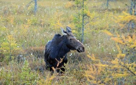 Cow moose in Algonquin Park, Canada
