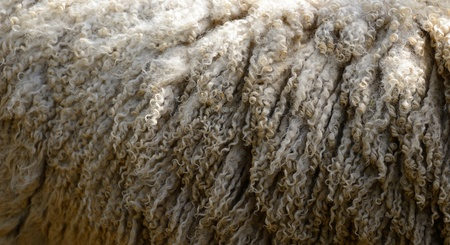 close up of sheep wool natural fiber