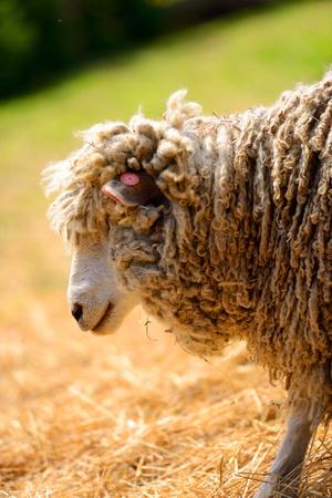 flocking: woolly sheep in a farm