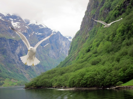 Cruising the Norwegian Fjord with seagulls near Bergen photo