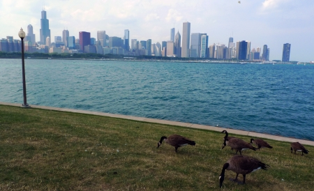 Chicago skyline and Lake Michigan with Canadian geese photo