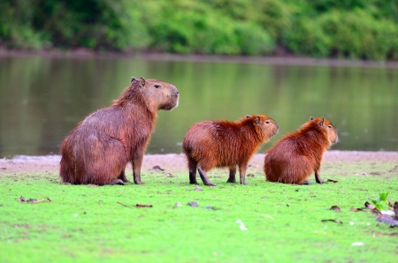 Capybaras, the largest rodent in the world, in Pantanal, Mato Grosso, Brazil