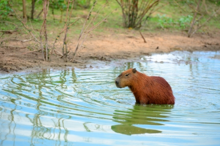 Capybaras, the largest rodent in the world, in Pantanal, Mato Grosso, Brazil 版權商用圖片 - 25093176