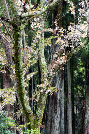 unesco world heritage site: Cherry Blossom during Hanami Festival in Yoshino, Nara Prefecture, Kansai, Japan, is part of a UNESCO World Heritage site known as Sacred Sites and Pilgrimage Routes in the Kii Mountain Range. Stock Photo