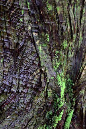 Tree trunk bark at Kumano Kodo, Wakayama, Japan