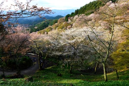 Cherry Blossom during Hanami Festival in Yoshino, Nara Prefecture, Kansai, Japan