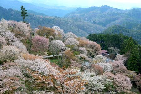 Japanese cherry blossom on Mount Yoshino, Kansai, Japan