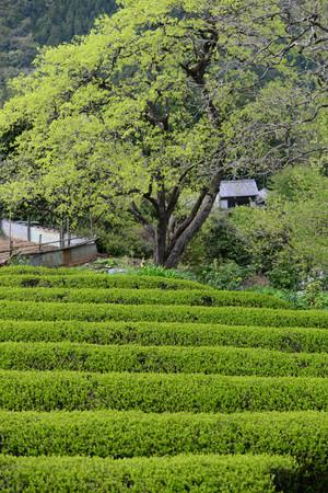 Tea farm along Kumano Kodo, Kansai, Japan